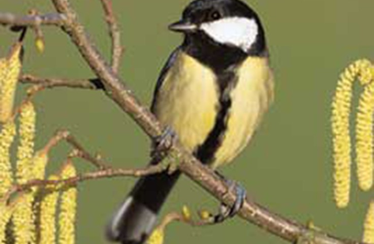Traffic noise driving songbirds to the limit in cities By Mark Kinver
